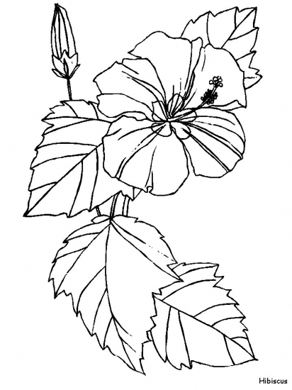 hibiscus drawing coloring