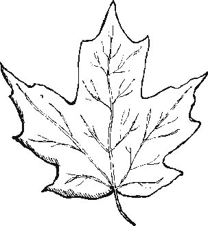 maple leaf coloring page image search results